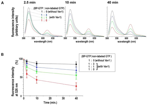 Competition between BP-GTP and non-labeled GTP in GEF-induced GDP/GTP exchange on YFP-RhoA. (A) Normalized fluorescence emission spectra from the mixtures of YFP-RhoA, BP-GTP, and non-labeled GTP in the presence or absence of PH/DH domain of Vav1, a GEF for RhoA. Spectra at different time points after mixing are shown. The concentration of non-labeled GTP was varied in the presence of Vav1. (B) Changes in YFP fluorescence (530 nm) in the spectra shown in (A) were plotted to show the time course of the GDP/GTP exchange. A decrease in the YFP fluorescence indicates BP-GTP binding on YFP-Rho. Averages of four independent experiments are plotted with SE. Similar results were obtained using PH/DH-domains of LARG41, another GEF for Rho, instead of Vav1 (data not shown).