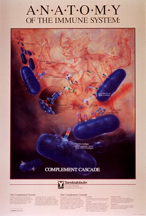 <p>Peach poster with black and white lettering.  Initial title phrase at top of poster.  Visual image is an illustration.  The upper right corner of the illustration features a drawing of a person in a twisting position with arms outstretched, from behind.  Remainder of illustration depicts the complement cascade, beginning with pathogen invasion in the upper left corner and culminating in destruction of the pathogen near the bottom of the illustration.  Remaining title phrase superimposed on bottom of illustration.  Lengthy caption below illustration explains the drawing in great detail.  Publisher information in lower left corner.</p>