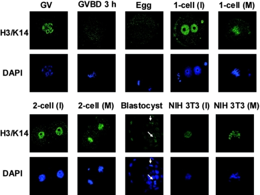 Acetylation of lysine 14 on histone H3 at interphase (I) and metaphase (M). Oocytes, preimplantation embryos, and NIH 3T3 cells were immunostained with the anti–acetyl histone H3/lysine 14 (H3/K14) antibody. GV, oocytes at the GV stage; GVBD 3 h, oocytes after a 3-h incubation without IBMX in the first meiosis; Egg, oocytes at MII; 1-cell (I), one-cell embryos at interphase; 1-cell (M), one-cell embryos at the M phase; 2-cell (I), two-cell embryos at interphase; 2-cell (M), two-cell embryos at the M phase; Blastocyst, blastocyst-stage embryos; NIH 3T3 (I), NIH 3T3 cells at interphase; NIH 3T3 (M), NIH 3T3 cells at the M phase. Arrows indicate the condensed mitotic chromosomes in the blastocysts. Each sample was counterstained with DAPI to visualize the DNA. The acetylation of lysine 9 on histone H3 is shown in Fig. S4, available at http://www.jcb.org/cgi/content/full/jcb.200303047/DC1.
