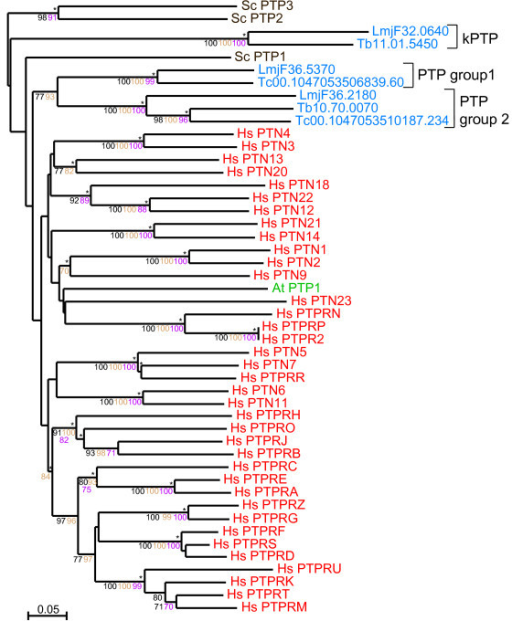 Phylogram of TriTryp PTPs. The phylogram of PTP catalytic domains includes TriTryp sequences and human, S. cerevisiae and A. thaliana as markers. Phosphatase domains are indicated by systematic gene IDs. Sequences are colour-coded by organism: blue for T. cruzi (Tc), T. brucei (Tb) and L. major (LmjF); red for human (Hs); brown for S. cerevisiae (Sc) and green for A. thaliana (At). Protein names replace Swiss-Prot IDs for some human, yeast and plant sequences. Results of the four phylogenetic methods are shown: bootstrap values > 70 are black for Neighbour-Joining, brown for Bayesian and purple for Maximum Parsimony. Asterisks (*) show Maximum Likelihood support.