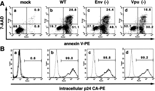 Vpu induces apoptosis in HIV-1–infected Jurkat cells. Uninfected Jurkat cells (a) or Jurkat cells infected with an m.o.i. of 5 with VSV-G-pseudotyped virus stocks of (b) wild-type (WT) NL4–3, (c) NL43-K1 (Env−), or (d) NL4–3/Udel (Vpu−) variants were used for this analysis. (A) Cultures were analyzed 48 h after infection for the presence of apoptotic cells by staining with 7-AAD and PE-conjugated annexin V, followed by flow cytometric analysis. Numbers represent the percentages of cells in the respective quadrants. (B) The same cultures were evaluated 24 h after infection for HIV-1 infection by intracellular p24 staining using PE-conjugated mouse mAb to HIV-1 p24 followed by flow cytometry. Numbers represent the percentages of p24-positive cells. The dotted lines in panels a–d represent p24-staining of mock-infected cells. The solid lines in panels a–d represent p24-staining of infected cells. The results shown are representative of three independent experiments.