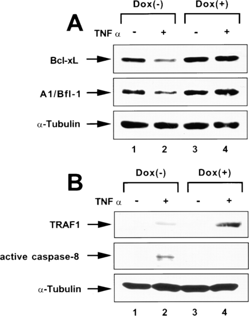 Vpu affects the expression of antiapoptotic factors and induces caspase-8 activation. (A and B) HeLa-CD4U cells were cultured in complete DMEM medium in the presence or absence of Dox for 24 h. TNF-α (20 ng/ml) was then added to the cultures as indicated and incubation was continued for an additional 16 h. Cell lysates were analyzed by immunoblotting for the expression of Bcl-xL and A1/Bfl-1 (A) as well as TRAF1 and the active form of caspase-8 (B). Lysates were normalized for tubulin using an α-tubulin antibody. (C) Jurkat cells were single-cycle infected with VSV-G-pseudotyped NL43-K1, NL43-K1/Udel, or NL43-K1/U2/6. Cell lysates were analyzed 40 h after infection by immunoblotting to detect expression of Bcl-xL, A1/Bfl-1, TRAF1, p24 CA, Vpu, or α-tubulin.