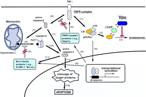 Model for Vpu-induced apoptosis through activation of the caspase pathway. Details of the model are explained in the Discussion. Broken arrows symbolize inhibitory effects. Steps inhibited by Vpu are marked in red.