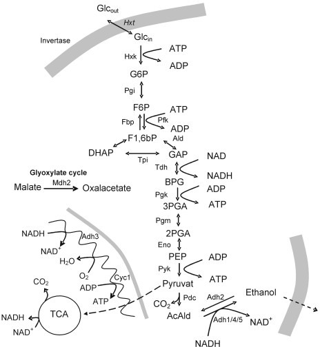 Schematic diagram of central metabolism to indicate position of relevant/studied enzymes in metabolism.