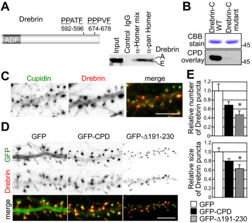 Cupidin-Drebrin interaction and colocalization in the spines of hippocampal neurons, and its inhibition by expressing a mutant with a deletion of the Cupidin Cdc42-binding domain. (A) Mouse Drebrin contains an actin depolymerization factor/cofilin-like domain (ADF) in the N-terminal region and two putative PPxxF Homer-binding motifs (592-PPPPATF-596 and 674-PPPVF-678) in the C-terminal region. Both Drebrin-A and Drebrin-E were co-immunoprecipitated with anti-Homer1, 2 and 3 antibodies (Homer-mix) and an anti-pan Homer antibody that recognizes all three Homer family members (right panel). Immunoprecipitates with control rabbit IgG showed no Drebrin bands. (B) The GST-fused mouse Drebrin A C-terminal region (Drebrin-C WT, aa 579-706 containing two Homer ligand motifs 592-PPATF-596 and 674-PPPVF-678) and its double mutant (Drebrin-C mutant with P593A and P675A) were bacterially expressed, electrophoresed and transferred to a nitrocellulose membrane followed by an overlay assay with GST-CPD protein extracts (see Methods). Drebrin-Cupidin binding was proven by Western blot analysis using anti-Cupidin (CPD C) antibody. Top panel, CCB stain; bottom panel, Western blot. (C) Immuno-fluorescent staining of endogenous Cupidin (green) and Drebrin (red) proteins colocalized in the dendritic spines of primary cultured rat hippocampal neurons. Bar: 5 μm. (D) GFP fluorescence (green) and Drebrin-immuno-fluorescence (red) images in the dendrites of hippocampal neurons overexpressing GFP, GFP-CPD or GFP-CPDΔ191–230 (= GFP-Δ191–230) by recombinant adenovirus infection. Bar: 5 μm. (E) The relative puncta number (top graph) and size (bottom graph) of Drebrin-positive puncta along dendrites overexpressing either GFP-CPD or GFP-CPDΔ191–230 (= GFP-Δ191–230) were quantified and normalized to those of dendrites overexpressing GFP alone, which was set to 1.0. *, p < 0.01.