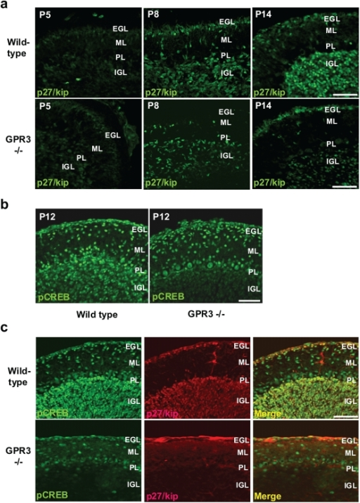 Expression of p27/kip and phosphoCREB expression during postnatal cerebellar development.In panel a, cerebelli from GPR3−/− or wild type mice were harvested at P5, P8, and P14. p27/kip1 immunohistochemistry was detected in IGL (as well as other layers) but was visually more readily apparent in wild-type vs. GPR3−/− mice at all stages. In panel b, pCREB was detected by immunohistochemistry in wild-type and GPR3−/− mice (P12). While pCREB, was detected in the molecular layer (ML) and IGL of widl-type mice, it was not as readily visible in the IGL of the GPR3−/−. In panel c, co-localization of pCREB and p27/kip was determined by double immunofluorescence. Scale bar = 50 µm.