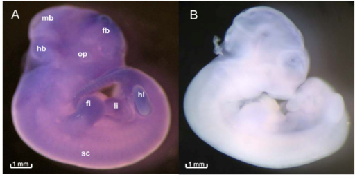 Expression of yy2 in developing mice. A. Whole mount in situ hybridization of E11.5 embryo with a DIG-labeled yy2 antisense riboprobe. For a better orientation different regions are indicated; forebrain (fb), midbrain (mb), hindbrain (hb), optical vesicles (op), spinal cord (sc), forelimb buds (fl), liver (li) and hindlimb buds (hl). B. Hybridization with the yy2 sense riboprobe served as control (magnification: 4-fold).