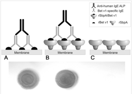 Dot blot assay indicating the IgE reactivity of rSbpA/B | Open-i