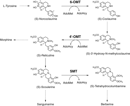 Schematic biosynthetic pathway for a variety of isoquinoline alkaloids. 6-OMT, S-adenosyl-L-methionine:norcoclaurine 6-O-methyltransferase; 4′-OMT, S-adenosyl-L-methionine:3′-hydroxy-N-methylcoclaurine 4′-O-methyltransferase; SMT, S-adenosyl-L-methionine:scoulerine 9-O-methyltransferase; AdoMet, S-adenosyl-L-methionine; AdoHcy, S-adenosyl-L-homocysteine.