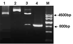 Construction of SR-PSOX fragment into pEGFP-N3 expression vector. Constructed products were analysed by 1% agarose gel to confirm the right size of fragment. Lane 1, empty pEGFP-N3 vector only (4700bp). Lane 2, wild type of SR-PSOX fragment was inserted in to the vector as pEGFP-N3-SR-PSOX construct (5541bp). Lane 3, pEGFP-N3-SR-PSOX construct was digested with EcoR I and BamH I to form the right size of two bands (4700bp and 841bp). Lane 4, the right size of full-length of SR-PSOX fragment was amplified after PCR reaction. M, DNA ladder.
