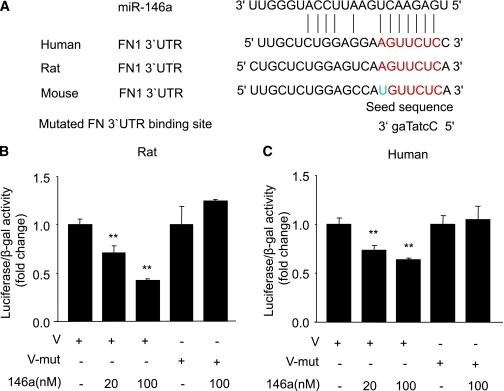 A: Alignment of FN 3′-UTR (and mutated FN 3′-UTR) sequence with mature miR-146a based on bioinformatics predictions (www.targetscan.org, www.microrna.org, and www.ebi.ac.uk1). The 5′ end of the mature miR-146a is the seed sequence and has perfect complementarity with seven nucleotides of the 3′-UTR of FN. In the mutated sequence (small caps identifying mutated nucleotides), such complementarity was lost. B and C: Luciferase reporter assay using rat and human FN, respectively, showing dose-dependent binding of FN 3′-UTR with miR-146a, whereas mutated (mut) FN 3′-UTR abrogated the inhibitory effects of miR-146a. Relative luciferase activities were expressed as luminescence units and normalized for β-galactosidase expression. **Significantly different from vector (V) or mut V, FN 3′-UTR luciferase plasmids plus β-galactosidase plasmids; V-mut, mutated FN 3′-UTR luciferase plasmids plus β-galactosidase plasmids. (A high-quality color representation of this figure is available in the online issue.)