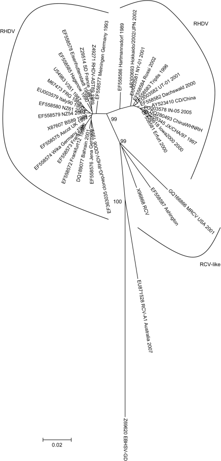 Evolutionary relationships of Lagovirus strains. The evolutionary history was inferred by using the neighbor-joining method (3) with the pairwise deletion option. The tree is drawn to scale. There were a total of 563 positions (97% of the capsid viral protein [60 aa sequence]). Phylogenetic analyses were conducted in MEGA 4 (4). Reliability of the tree was assessed by bootstrap with 1,000 replicates and is indicated in the nodes (only relevant values are shown). Several genetic distance methods were used, and similar results were obtained, but only p-distance is shown. GenBank accession numbers of the sequences used are indicated. Scale bar indicates nucleotide substitutions per site. RDHV, rabbit hemorrhagic disease virus; RCV, rabbit calicivirus; EBHSV, European brown hare syndrome virus.