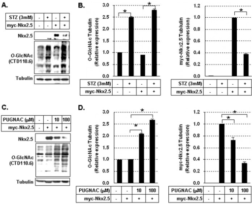 Reduction of myc-Nkx2.5 protein in cells treated with O-GlcNAcase inhibotirs.(A) Immunoblotting of myc-Nkx2.5 and O-GlycNAcylated proteins in myc-Nkx2.5-transfected HEK293 cells in the presence or absence of 3 mM streptozotocine (STZ). (B) Graphs showed relative O-GlcNAc (left) and myc-Nkx2.5 (right) levels normalized to the tubulin levels in STZ-treated and untreated cells. O-GlcNAcylation levels were compared in untreated cells vs STZ-treated cells and untreated myc-Nkx2.5 cells vs STZ-treated myc-Nkx2.5 cells. The myc-Nkx2.5 protein levels were compared in untreated myc-Nkx2.5 cells vs STZ-treated myc-Nkx2.5 cells. All values are presented as the mean±standard error of three independent experiments. *p<0.05. (C) Immunoblotting analysis of myc-Nkx2.5 and O-GlycNAcylated proteins in myc-Nkx2.5-transduced HEK293 cells in the presence or absence of O-(2-acetamido-2-deoxy-D-glucopyroanosylidene)-amino-N-phenylcarbamate (10 or 100 µM PUGNAC). (D) Graphs showed relative O-GlcNAc (left) and myc-Nkx2.5 (right) levels normalized to the tubulin levels in PUGNAC-treated and untreated cells. The treatment with STZ and PUGNAC significantly increased the O-GlcNAcylation of intracellular proteins, but decreased the myc-Nkx2.5 protein significantly. O-GlcNAcylation levels were compared in untreated myc-Nkx2.5 cells vs PUGNAC-treated myc-Nkx2.5 cells. The myc-Nkx2.5 protein levels were compared in untreated myc-Nkx2.5 cells vs PUGNAC treated myc-Nkx2.5 cells. All values are presented as the mean±standard error of three independent experiments. *p<0.05.