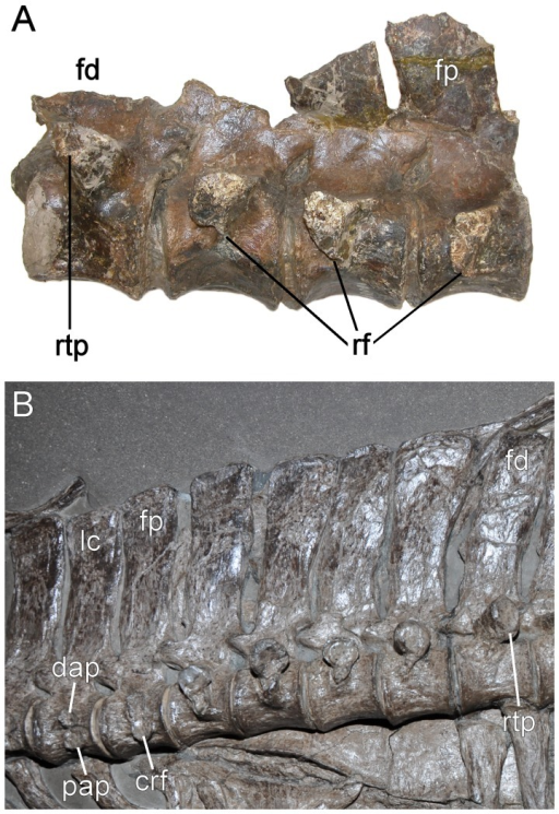 Pectoral series.A. Elasmosaurus platyurus (ANSP 10081) and B. Seeleyosaurus guilelmiimperatoris (Museum für Naturkunde Berlin, MB.R.1992). Not to scale. Abbreviations.crf = conjoint rib facet, dap = diapophysis, fd = first dorsal, fp = first pectoral, lc = last cervical, pap = parapophysis, rf = single rib facet, rtp = single rib facet on transverse process.
