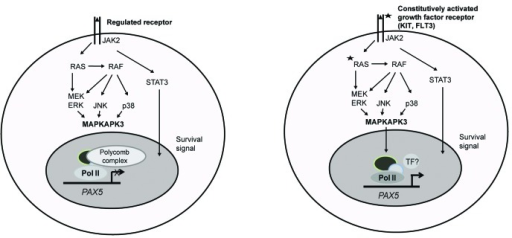 Figure 1. Constitutively activated growth factor receptors deregulate polycomb complexes via MAPKAP3 kinase, leading to the deregulation of PAX5 gene in t(8;21) AML. Left panel: Receptor tyrosine kinases on binding to their respective ligands signal to the nucleus of the cell via JAK/STAT, MEK/JNK, and p38 pathways in a regulated manner. Right panel: In t(8;21) AML activating mutations constitutively activates receptor tyrosine kinases that, in turn, constitutively activates downstream kinases JAK/STAT, MEK/JNK, and p38. STAT3 provides survival a signal to t(8;21) cells. JNK, MEK, and p38 constitutively activate MAPKAPK3 (3pK), which leads to the dissociation of polycomb from PAX5 leading its aberrant activation.