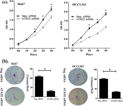 The CCK8 assay was performed after ATAD2 siRNA treatment. (a) A reduction of absorbance was observed (P < 0.05). (b) Clonogenic assays were performed with ATAD2-depleted cancer cells. The number of colonies formed by cells treated with ATAD2 siRNA was far fewer than that of control siRNA-treated cells (P < 0.05).