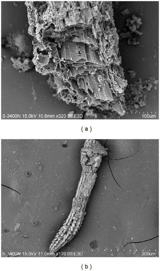 (a) Fragments of sea organics (hypothetically a part of a sponge) and (b) needle of sea urchin Scaphechinus mirabilis from a snow sample taken in the Sadgorod District of Vladivostok. Scanning electron microscopy in secondary electrons. (a) Magnification ×320. (b) Magnification ×170.