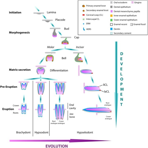 Tooth Development Of Molars And Incisors In Rodents Fro Open I