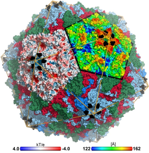 CVA24v in complex with its glycan receptor.The capsid structure of CVA24v with the capsid proteins VP1 (light blue), VP2 (green), VP3 (red) is shown in a surface representation. VP4 is located inside the capsid not visible in this figure. The Neu5Ac entity (black) is located at a positively charged, solvent exposed region of VP1. The atoms of one pentameric section (left) are colored according to the electrostatic potential using a color scale from red to blue. The adjacent pentameric section (right) was colored according to the distance from the center of the capsid, ranging from blue (122 Å) to red (162 Å).