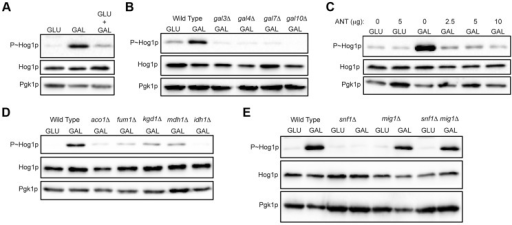 Role of increased metabolic respiration and Snf1p in activation of the HOG pathway.A) Immunoblot showing P∼Hog1p levels in cells grown in glucose (YEPD), galactose (YEP-GAL) or glucose and galactose (YEPD+2% GAL). B) Wild-type cells (PC6016) and the gal3Δ, gal4Δ, gal7Δ and gal10Δ mutants grown in YEP-GAL. C) P∼Hog1 levels in cells grown under the indicated conditions for 3 h with or without antimycin, ANT. D) Wild type (PC538) and the aco1Δ (PC3912), fum1Δ (PC6152), mdh1Δ (PC6153) and kgd1Δ (PC6155) and idh1Δ (PC6154) mutants were grown in galactose for 5.5 hrs. E) Wild-type cells (PC538), and the snf1Δ (PC560), mig1Δ (PC4843) and snf1Δ mig1Δ (PC6076) mutants were grown in YEP-GAL medium for 5.5 hrs.