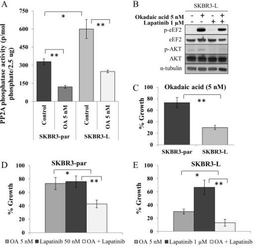 The role of PP2A in eEF2 phosphorylation. (A) Activity of PP2A in SKBR3-par and SKBR3-L cells, untreated and treated with 5 nM OA for 24 hr. (B) Immunoblot examining the effect of OA alone and in combination with lapatinib on levels of total and phosphorylated eEF2(Thr56) and AKT(Ser473). (C) Effect of 5 nM okadaic acid (OA) on growth of SKBR3-par and SKBR3-L cells. (D) Effect of OA alone and in combination with lapatinib on the growth of SKBR3-par cells and (E) SKBR3-L cells. Error bars represent the mean ± SD (n = 3). *denotes p ≤ 0.05, **denotes p ≤ 0.01.