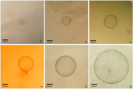 Photographs of an equine cloned aggregated blastocyst in in vitro embryo culture beyond day 8.An equine cloned zona free blastocyst placed in a 100 µl drop of DMEM/F12 medium derived from the experimental group 3x during in vitro embryo culture from day 8 until day 16. (A) Day 9, 195.21 µm. (B) Day 10, 314.28 µm. (C) Day 11 444.75 µm. (D) Day 12, 498.76 µm. (E) Day 13, 672.17 µm. (F) Day 14, 1127.98 µm.