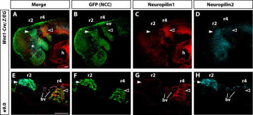 Nrp1 and Nrp2 expression defines distinct cranial NCC populations along the anteroposterior axis. (A-D) Whole mount immunofluorescence analysis of Nrp1 and Nrp2 on E9.0 Wnt1Cre; Z/EG embryos in which all NCCs were labelled by GFP expression (B). In addition to staining of NCCs, both Nrp1 and Nrp2 were present in blood vessels within and around the r2 and r4 streams. (C-D) Antibody staining showed that Nrp1 expression was restricted to the r4 stream of NCCs (closed arrowhead) and Nrp2 was restricted to the r2 stream of NCCs (open arrowhead). (E-H) Longitudinal sections through the head confirmed that Nrp1 expression was indeed within NCCs of the r4 stream and not in the r2 stream (delta), while Nrp2 staining was within NCCs of the r2 stream and not in the r4 stream (closed arrowhead). Nrp1 and Nrp2 antibodies also labelled the major blood vessels (bv). e, eye; ov, otic vesicle. Scale bar = 100 μm.