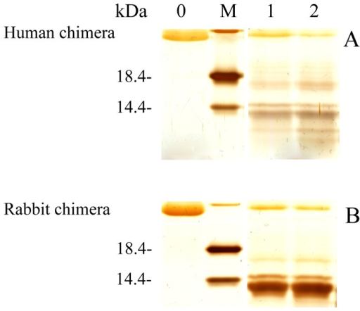 Concentration-dependent proteinase K-digestion assays of human (A) and rabbit (B) chimera PrP fibrils.Samples were treated with PK for 1 h at 37°C at PK: PrP molar ratios as follows: 1∶100 (lane 1) and 1∶50 (lane 2). PK concentration: 0.4 µg/ml (lane 1) and 0.8 µg/ml (lane 2). The controls with zero protease in the absence of a crowding agent were loaded in lane 0. Protein molecular weight markers were loaded on lane M: restriction endonuclease Bsp98 I (25.0 kDa), β-lactoglobulin (18.4 kDa), and lysozyme (14.4 kDa). Amyloid fibrils were produced from human chimera and rabbit chimera in the absence of a crowding agent. Protein fragments were separated by SDS-PAGE and detected by silver staining.