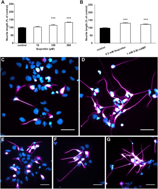 Ibuprofen increased neurite length of human model neurons.(A) Treatment with 100 μM and 500 μM Ibuprofen increased neurite outgrowth of human model neurons as measured after 24 hours. At 10 μM Ibuprofen treatment no difference to control could be detected. In 4 independent experiments, 778 to 2361 neurites were measured in total. (B) Neurite elongation under Ibuprofen treatment was slightly higher than in neurons treated with the membrane permeable analogue 8-Br-cAMP (5 experiments, 1015 to 2030 neurites measured. (C) Immunofluorescence staining of human model neurons under control conditions. (D) Neurons treated with 1 mM 8-Br-cAMP. (E-G) Neurons treated with 10 μM (E), 100 μM (F) and 500 μM (G) Ibuprofen. Cells are stained against beta-III-tubulin and counterstained with DAPI. ***p<0.001 with control by Kruskal-Wallis one-way ANOVA. Scale bars are 50 μm.