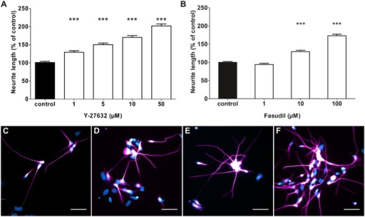Rho kinase (ROCK) inhibitors promote neurite elongation of human model neurons.(A) Treatment with the ROCK inhibitor Y-27632 for 24 h resulted in dose-dependent increase of neurite lengths over a range from 1 μM to 50 μM Y-27632. At 50 μM Y-27632, treatment resulted in a doubling of neurite length compared to control conditions (3 experiments, 732 to 973 neurites measured). (B) Treatment with the ROCK inhibiting agent Fasudil led to increased neurite lengths of 125% of control at 10 μM and 175% at 100 μM Fasudil (3 experiments, 1511 to 2434 neurites measured) (C-F) Immunofluorescence staining of neurons treated with 1 μM (C), 5 μM (D), 10 μM (E), and 50 μM (F) of the ROCK inhibitor Y-27632. Neurons are stained against beta-III-tubulin and counterstained with DAPI. ***p<0.001 with control by Kruskal-Wallis one-way ANOVA. Scale bars are 50 μm.