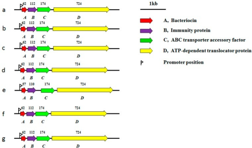 Organization of the gene clusters of pediocin and related bacteriocins from different plasmids. (a) pS34 from P. pentosaceus (Pediococcus pentosaceus) S34 (NG_035883.1); (b) pATO77 from P. parvulus (Pediococcus parvulus) ATO77 (NG_035882.1); (c) pSMB74 from P. acidilactici (Pediococcus acidilactici) H (NC_004832.1); (d) pWHE92 from L. plantarum WHE92 (NG_035884.1); (e) pPLA4 from L. plantarum 423 (AF304384.2); (f) pI4 from B. coagulans I4 (NG_035346.1); and (g) pEnt4 from E. faecium Acr4 (NG_041274.1). Open reading frames (ORFs) encoding the related proteins are marked with a different color. The number of amino acid residues within each encoded protein is shown above the corresponding ORF.