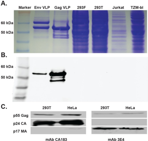 Identifying HIV proteins recognized by mAb 3E4.(A) SDS-PAGE separation on a 4–12% gradient gel of Env VLP, Gag-only VLP, 293F, 293T, Jurkat or TZM-bl cell lysates, followed by Coomassie staining. (B) Western blot analysis of the cell lysates using mAb 3E4 as a probe. The molecular weight markers are indicated. (C) Western blot analysis of NL4-3 pelleted particles using mAbs CA183 (left panel) or 3E4 (right panel) as probes. Bands representing the molecular weights of p55 Gag, p24 CA and p17 MA are indicated.