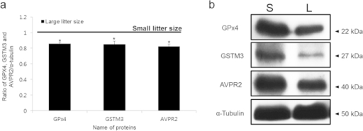 Expression of GSTM3, GPx4 and AVPR2 in small and large litter size spermatozoa.(A) Ratios of GPx4, GSTM3 and AVPR2 [optical density (OD × mm)/α-tubulin (OD × mm)] in small and large litter size spermatozoa. The black line indicates small litter size. Data represent mean ± SEM, n = 3. Protein expression ratios denoted with an asterisk were significantly different (*P < 0.05). (B) GPx4, GSTM3, and AVPR2 were probed with anti-GSTM3, anti-GPx4, and anti-AVPR2 antibodies. (S = Small litter size, L = Large litter size).