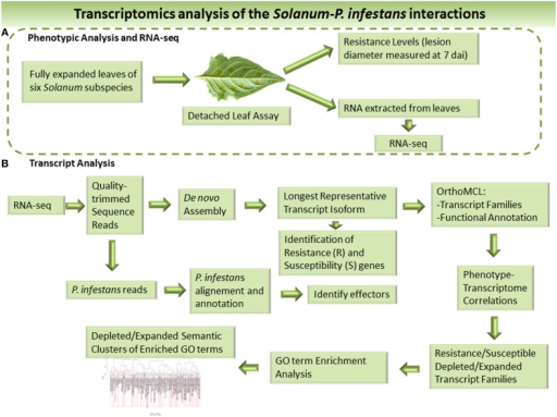 Overview the workflow used to identify resistance and susceptible factors in the host and effectors of the infecting pathogen based on RNA-seq. (A) Phenotypic analysis and RNA Sequencing (RNA-Seq). (B) Bioinformatic analysis of the RNA-seq data and transcriptomes.