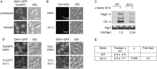 Ty3 expression enhances, but is not required for PB formation.Dhh1-GFP foci were evaluated in Ty3 WT and  cells treated with α-factor for 4 h or left untreated. Cells in (A, B, C) were imaged by widefield microscopy as described (Materials and Methods, S1 Text, Supporting Materials and Methods). Scale bar = 5 μm. (A) Pheromone treatment causes PB formation in Ty3(WT) cells. Insert indicates % cells with GFP foci (mean ± SD). (B) Ty3 foci are present in similar percentages of WT and far1Δ cells. Insert indicates % cells with Ty3-mCherry foci (mean ± SD). Cells contained Ty3-mCh-expressing plasmid under the native promoter (pTD3655). (C) Ty3 expression is reduced in far1Δ cells. Western blot analysis of Gag3 proteins products in WT and far1Δ cells, either uninduced or induced with α-factor. Ratio of CA/Pgk1 loading control is average of three independent cultures. (D) Pheromone induced Ty3 expression enhances PB formation in far1Δ cells. Insert as described in (A). (E) Ty3 transposition is reduced in far1Δ cells. Pheromone-induced transposition was as described (Materials and Methods).