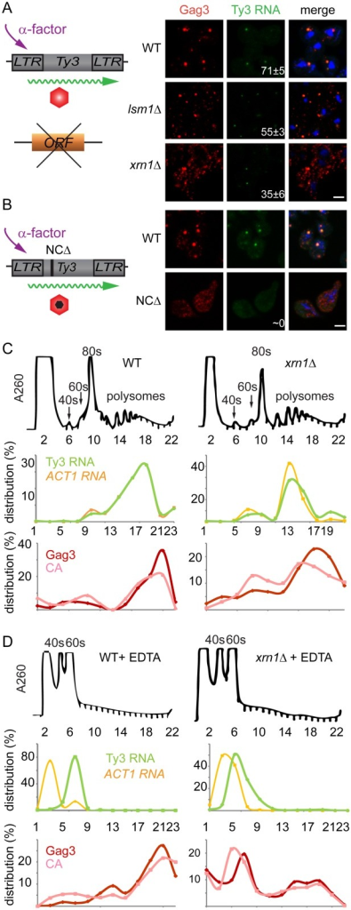 Xrn1 and Lsm1 are required for Gag3 foci formation in mating cells.(A) Localization of Ty3 Gag3 and RNA in WT (BY4741) and lsm1Δ or xrn1Δ strains. Cells were imaged by confocal microscopy after 4 h of α-factor induction. Ty3 Gag3 was detected by immunofluorescence using antibody against Ty3 VLPs and Ty3 RNA was detected by FISH using Ty3-specific oligonucleotides (S1 Text, Supporting Information Methods and Materials). Insert indicates % cells with RNA foci (mean ± SD). Scale bar = 2 μm. (B) Gag3-ΔNC fails to localize to PB foci. Ty3Δ (yVB1672) cells were transformed with plasmids expressing either WT Ty3 (pTD3685) or with Ty3 with deletion of the NC domain of Gag3 (NCΔ) (pPS3705) under the native promoter. Cells were imaged by confocal microscopy after 4 h of α-factor induction as described in (A). Polysome analysis of WT (BY4741) or xrn1Δ cells induced with α-factor for 2 h. Cell lysates, either untreated (C) or treated (D) with EDTA, were analyzed by sucrose gradient sedimentation. The 40, 60 and 80s ribosomal subunits and polysomes were monitored with continuous A260 measurements. Total RNA was extracted from even number fractions and was analyzed by northern blot for Ty3 (green) and ACT1 RNA (orange). Protein was extracted from odd number fractions and was analyzed by western blotting for Gag3 (red) and CA (pink). RNA and protein data is expressed as a percentage of the total in all fractions (distribution %). Data are representative of results from two independent experiments.