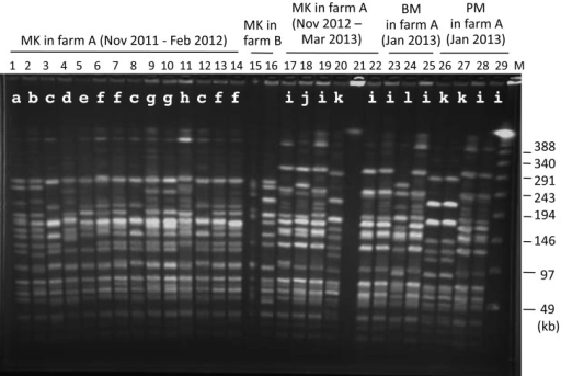 SmaI-digested PFGE patterns of genome DNAs of representativeA. viridans isolates.Lanes: 1 to 14, isolates from milk samples (MK) of 14 cows in farm A between November2011 and February 2012; 15 and 16, MK of 2 cows in farm B, 17 to 22, MK of 6 cows infarm A between November 2012 and March 2013; 23 to 25, isolates from bedding materials(BM) sampled in January 2013 in farm A; 26 to 29, isolates from processed manure (PM)sampled in January 2013 in farm A. Lane M, lambda ladder. The lowercase letter beloweach of the lane numbers refers to the PFGE pattern (see RESULTS). The base sizes ofthe markers are indicated on the right of the panel.