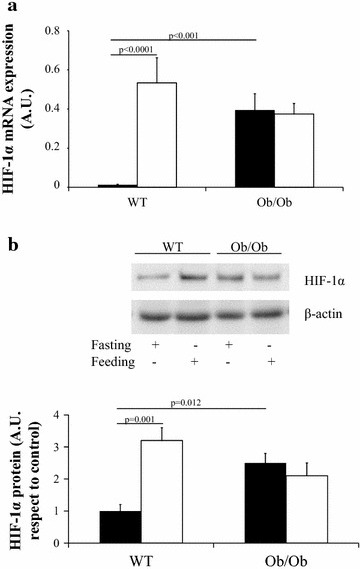 HIF-1α expression in visceral adipose tissue from wild-type C57BL6J (WT) and ob/ob C57BL6J mice (Ob/Ob) in fasting (filled square) (n = 17 in WT and n = 17 in Ob/Ob mice) and feeding status (open square) (n = 17 in WT and n = 17 in Ob/Ob mice). a HIF-1α mRNA and b representative immunoblot (n = 4 per group). The results are given as the mean ± SEM. A.U. arbitrary units