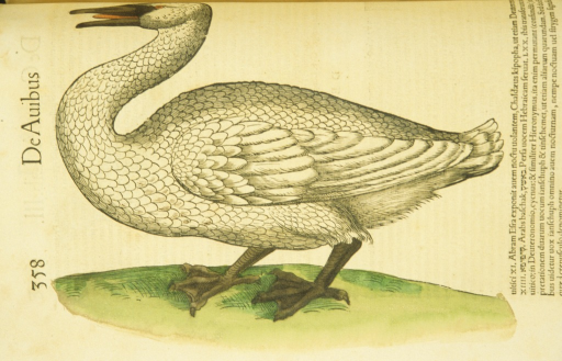 <p>Hand-colored woodcut of the swan in profile.</p>