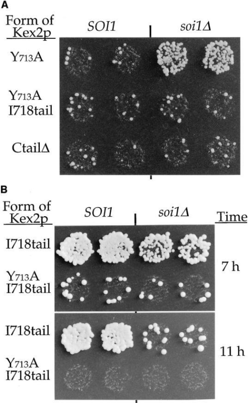 (A) Suppression of the localization defect of Y713A  Kex2p in the soi1Δ strain requires TLS2. JBY154-1A (MATα  soi1Δ-2 kex2Δ) and JBY154-2A (MATα SOI1 kex2Δ) expressing either Y713A Kex2p (pCWKX21), Y713A I718tail Kex2p  (pCWKX21-I718), or C-tailΔ Kex2p (pCWKX27) under the control of the GAL1 promoter on CEN plasmids were shifted from  galactose to glucose for 5 h before testing mating competence.  (B) Optimal TLS1 function requires Soi1p, but TLS1 exhibits residual function in the absence of Soi1p. Strains JBY154-1A and  JBY154-2A expressing either I718tail Kex2p (pCWKX20-I718)  or Y713A I718tail Kex2p under the control of the GAL1 promoter  on CEN plasmids were shifted from galactose to glucose medium  for the indicated times before testing mating competence. Indicated to the left of each row of patches is the form of Kex2p expressed. The relevant SOI1 allele is indicated above the columns.