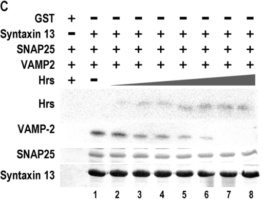 Hrs decreases the efficiency of early endosomal syntaxin13–SNAP-25–VAMP2 complex formation. Quantitation of the amount of Hrs (A, expressed in optical density units) or VAMP (B, expressed as a percentage of VAMP incorporated in the absence of Hrs) incorporated into the 7 S complex in the presence of increasing amounts of Hrs is shown. (C) Glutathione-immobilized GST or GST–syntaxin 13, SNAP-25, and VAMP2 were incubated in the absence (lane 1) and presence of increasing amounts of Hrs. Samples were processed, and immunoblots were visualized with 125I-secondary antibodies and phosphorimaging.