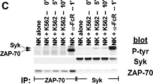 Tyrosine phosphorylation of Syk after stimulation of NK cells with targets. For each sample, 107 NK cells were mixed with 5 × 106 cells of  either (A) C1R, (B) 721.221, or (C) K562, pelleted, and incubated at 37°C for the indicated times. For anti-FcR stimulation, NK cells were incubated  for 1 min with cross-linked anti-FcR mAb (3G8). Syk or ZAP-70 immunoprecipitates were resolved by SDS-PAGE, transferred to membrane, and  probed sequentially with antiphosphotyrosine mAb (P-tyr), anti-Syk mAb (Syk), and anti-ZAP-70 antiserum (ZAP-70).
