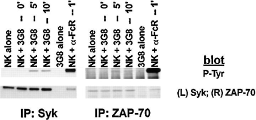 Anti-FcR–bearing hybridomas induce tyrosine phosphorylation of Syk and ZAP-70. NK cells were stimulated with the 3G8 hybridoma or cross-linked 3G8 mAb as in Fig. 2. Syk or ZAP-70 immunoprecipitates were resolved by SDS-PAGE, transferred to membrane, and  probed with antiphosphotyrosine mAb (P-tyr) and either anti-Syk mAb  or anti-ZAP-70 antiserum.