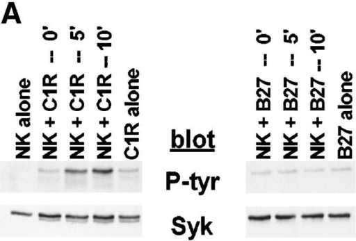 MHC class I–bearing,  NK-resistant targets do not stimulate  an increase in Syk tyrosine phosphorylation. 107 NK cells were mixed  with 5 × 106 cells of (A) C1R or  C1R-B27, or (B) C1R or C1R-B7.  The reaction mixtures were pelleted  and incubated at 37°C for the indicated times. Syk immunoprecipitates  were resolved by SDS-PAGE, transferred to membrane, and probed  with antiphosphotyrosine mAb (P-tyr) or anti-Syk mAb (Syk).