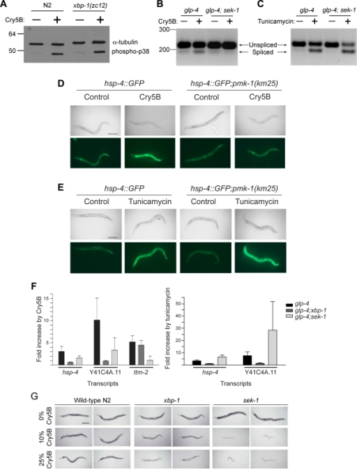 Relationship of the p38 MAPK and UPR pathways in response to PFT and unfolded proteins.(A) The xbp-1 pathway is not required for phosphorylation of p38 MAPK by Cry5B. Wild-type N2 and xbp-1(zc12) were exposed to either control buffer or purified Cry5B toxin for one hour. Worm lysates were analyzed by immunoblotting for phospho P38 MAPK along with α-tubulin as a loading comparison. Positions of molecular weight markers in kilodaltons are shown on left side of gel. Data are representative of three independent experiments. (B) Cry5B induced splicing of xbp-1 requires sek-1 (MAPKK). Splicing of xbp-1 mRNA was compared in glp-4(bn2) and glp-4(bn2);sek-1(km4) after 3 hours of exposure to either control E. coli or E. coli expressing Cry5B. Size markers in nucleotides are indicated on the left. This is a representative experiment of three independent experiments. (C) Tunicamycin induced splicing of xbp-1 does not require sek-1 (MAPKK). Splicing of xbp-1 mRNA was compared in glp-4(bn2) and glp-4(bn2);sek-1(km4) after 3 hours of exposure to either control (DMSO) or tunicamycin (2 µg/mL). This is a representative experiment of three independent experiments. (D) In vivo induction of hsp-4::GFP by Cry5B requires pmk-1 (p38 MAPK). The strains hsp-4::GFP and hsp-4::GFP;pmk-1(km25) were fed either control E. coli or E. coli expressing Cry5B for 8 hours and the expression of GFP was then analyzed. Cry5B induces GFP within the intestinal cells of the strain hsp-4::GFP but not in the strain containing the pmk-1(km25) mutant. The experiment was performed three times and representative worms are shown. Scale bar is 0.2 mm. (E) In vivo induction of hsp-4::GFP by tunicamycin does not require pmk-1 (p38 MAPK). The strains hsp-4::GFP and hsp-4::GFP;pmk-1(km25) were exposed to either control (DMSO) or tunicamycin (2 µg/mL) for 8 hours and the expression of GFP was then analyzed. Tunicamycin induces GFP throughout both the strains hsp-4::GFP and hsp-4::GFP;pmk-1(km25), including within the intestinal cells. The experiment was performed three times and representative worms are shown. Scale bar is 0.2 mm. (F) Downstream targets of the UPR require the p38 MAPK pathway for induction by PFT but not unfolded proteins. The fold change in the levels of hsp-4 and Y41C4A.11 mRNA transcripts by Cry5B and tunicamycin were determined for glp-4(bn2), glp-4(bn2);xbp-1(zc12) and glp-4(bn2);sek-1(km4) using real-time PCR. In addition, the fold change in ttm-2 transcripts was determined in response to Cry5B. Data are mean and standard deviation of three independent experiments. (G) Animals lacking sek-1 MAPKK are more sensitive to Cry5B than animals lacking xbp-1. Wild-type N2, sek-1(km4), and xbp-1(zc12) animals were placed on plates spread with E. coli transformed with empty vector (0%) or spread with empty vector E. coli diluted 9∶1 (10%) or 3∶1 (25%) with Cry5B-expressing E. coli (% thus gives toxin dose on a plate relative to undiluted Cry5B-expressing E. coli). The assay was initiated with L4 stage worms and photographs were taken 48 hours later. In the absence of Cry5B, the worms developed into dark, gravid, active, healthy adults. On 10% Cry5B-expressing E. coli, xbp-1(zc12) were slightly smaller than N2 but healthier than sek-1(km4), which were as small, pale, inactive, and severely intoxicated. On 25% Cry5B-expressing E. coli, xbp-1(zc12) was more intoxicated than N2 but not as intoxicated as sek-1(km4) animals. Scale bar is 0.2 mm.