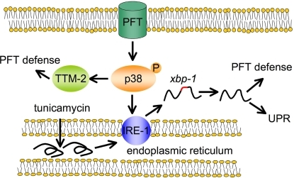 Schematic illustrating relationship between p38 MAPK, ire-1-xbp-1, and PFT defense pathways.PFTs at the cell surface of epithelial cells activate p38 MAPK that activates IRE-1 that induces splicing of xbp-1, which then turns on defense against PFTs. Residual activation of xbp-1 targets in the absence of the p38 MAPK pathway suggests there might be p38-independent activation of the ire-1-xbp-1 pathway in response to PFT as well (not shown). Independent of IRE-1 activation, p38 MAPK can also activate TTM-2 and other PFT defenses. Tunicamycin, which causes the accumulation of unfolded proteins in the ER, activates IRE-1 via a mechanism independent of the PFT and p38 MAPK.