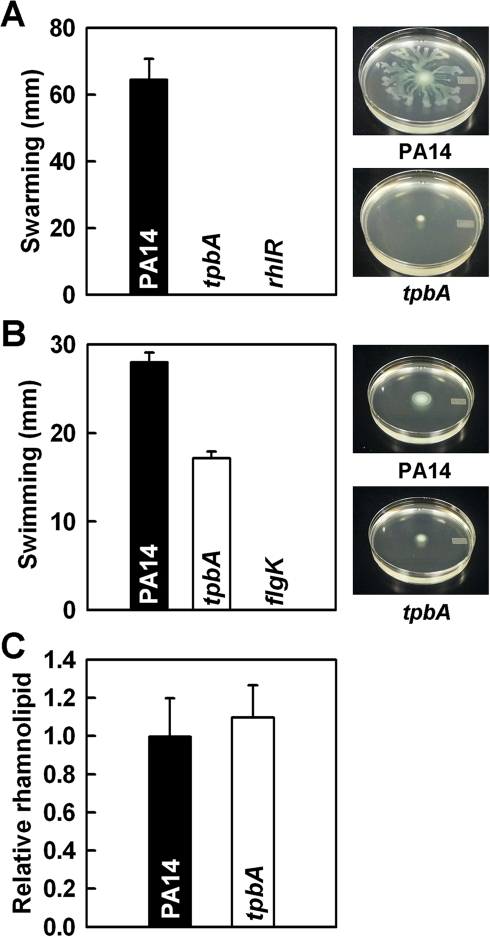 TpbA regulates swarming, swimming motility, and production of rhamnolipids.Swarming motility (A), swimming motility (B), and production of rhamnolipids (C) of P. aeruginosa PA14 and the tpbA mutant at 37°C after 24 h. Five plates were used for each swarming and swimming culture, and data show the average of two independent experiments. For the production of rhamnolipids, data show the average of the two independent experiments±s.d.