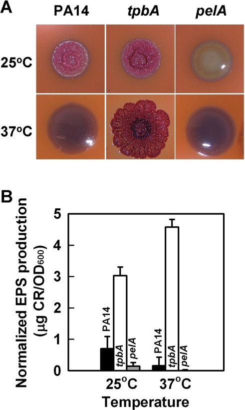 Inactivation of tpbA increases colony roughness and enhances EPS production.Colony morphology of P. aeruginosa PA14, the tpbA mutant, and the pelA mutant on Congo-red plates after 6 days at 25°C or 37°C (A). EPS production of each strain after 24 h at 37°C or after 48 h at 25°C (B). Data show the average of the two independent experiments±s.d.