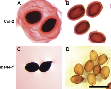Mucilage release of men4-1 versus wild-type seeds in ruthenium red with and without shaking. (A, B) Col-2 wild-type seeds. (A) Seeds put directly into ruthenium red without shaking are surrounded by an outer, diffuse layer of mucilage and an inner, dense layer of mucilage, while those shaken in dye lose the soluble outer layer (B). (C, D) men4-1 seeds lack mucilage release when treated directly with ruthenium red, with or without agitation. Scale bar: 500 μm. (This figure is available in colour at JXB online.)