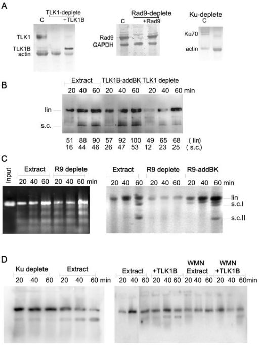 Repair of linearized palsmids and dependence on TLK1, Rad9, and Ku70. A) Western blots of extracts depleted of TLK1, Rad9, and Ku70. B) Immunodepletion of TLK1 and add-back. The effect of immunodepleting the endogenous TLK1 in labeling of the ends and ligation/supercoiling is shown. In the middle lanes, recombinant TLK1B was added back to the immunodepleted extract in an amount comparable to the endogenous TLK1 (see panel A). Note that this gel was exposed for longer than that in Fig. 1C to reveal the repaired forms more clearly. Quantitation of the autorad in pixels is shown below each lane. C)  Plasmid repair dependence on Rad9. Where indicated, the extract was immunodepleted of Rad9. In the left panel, we monitored repair of plasmid linearized with EcoRI alone (cohesive ends repair). In the middle panel, we monitored labeling and religation/supercoiling of plasmid cut with EcoRI/EcoRV, and its dependence on Rad9. In the right panel, Rad9 was added back. The position of linear and two supercoiled forms of the plasmids are indicated. D) Plasmid repair dependence on Ku70 and DNA-PK. The plasmid was in this case pre-labeled with Kleonw polymerase and [α-32P]dATP. Where indicated, the extract was immunodepleted of Ku (left panel), or the reaction was carried out in presence of 1 μM wortmainnin (right panel). Where indicated, we added TLK1B.